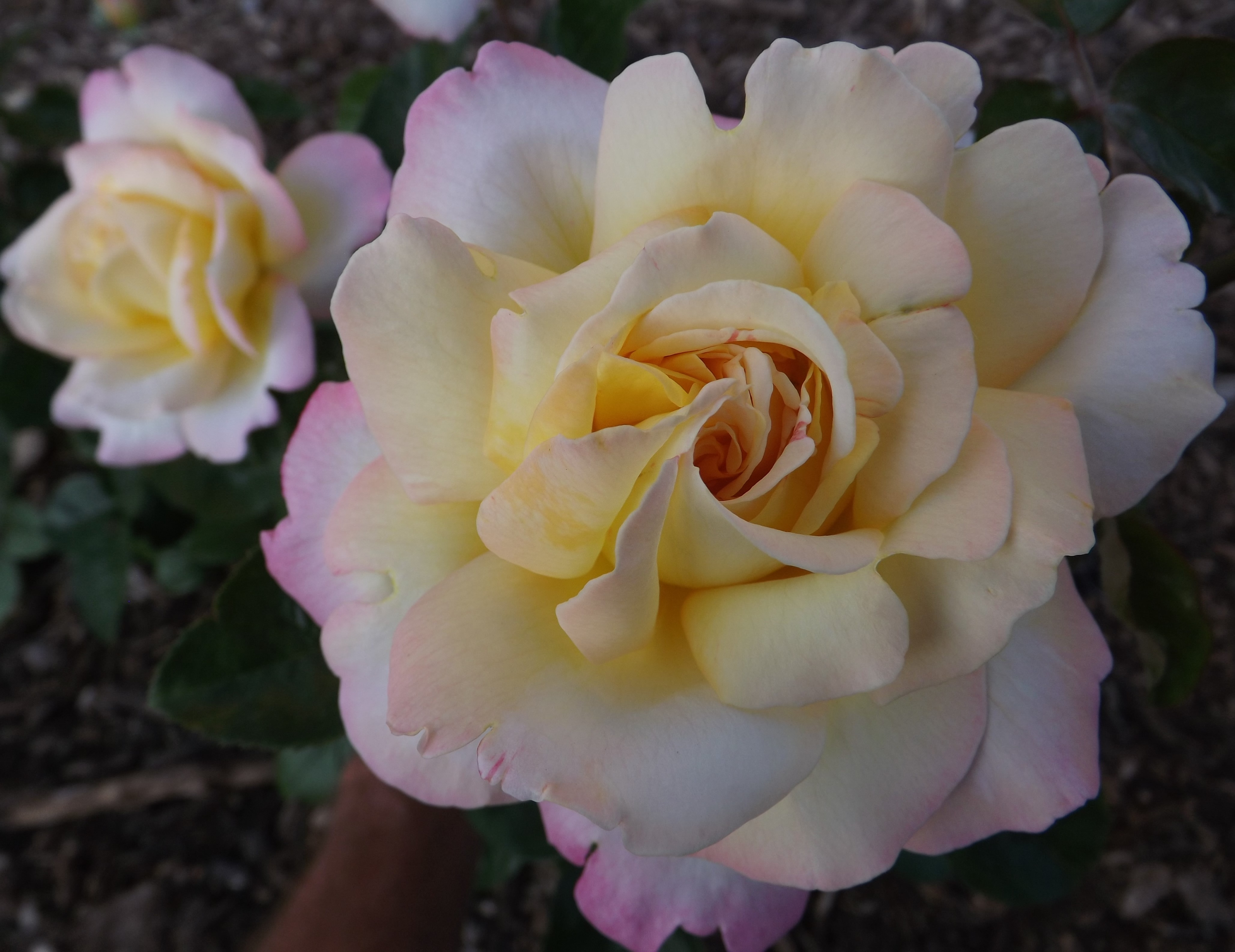 The Rose Garden I Never Promised Growing Together With Don Kinzler