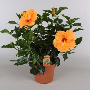 Caring For Hibiscus And How To Winter Them Indoors Growing